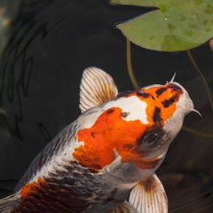 The KOI Fish Christian